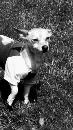 Dog Peanut One Animal Domestic Animals Taking Photos Wisconsin Ilovemydog Doggy Pet Photography  Mydogisthebestintheworld Chihuahua My Pet Dog❤ Dog Photography Animalphotography Dogofeyeem Pets Corner Dogslife No People Close-up Mydogiscoolerthanyourkids Blac&white  Black And White Portrait Outdoor Photography