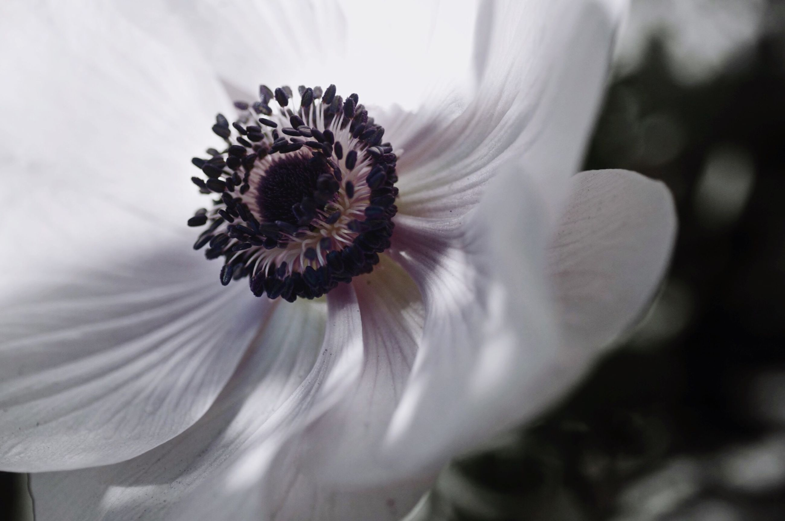 flower, petal, flower head, fragility, freshness, single flower, pollen, beauty in nature, close-up, growth, blooming, nature, focus on foreground, in bloom, plant, stamen, white color, no people, day, blossom
