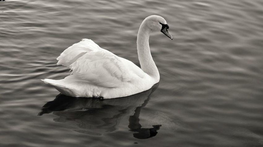 Animal Themes Animals In The Wild Water Vertebrate Animal Bird Animal Wildlife Swan Water Bird Lake