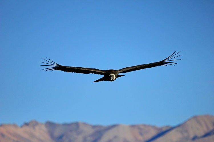 Low angle view of vulture flying in clear blue sky