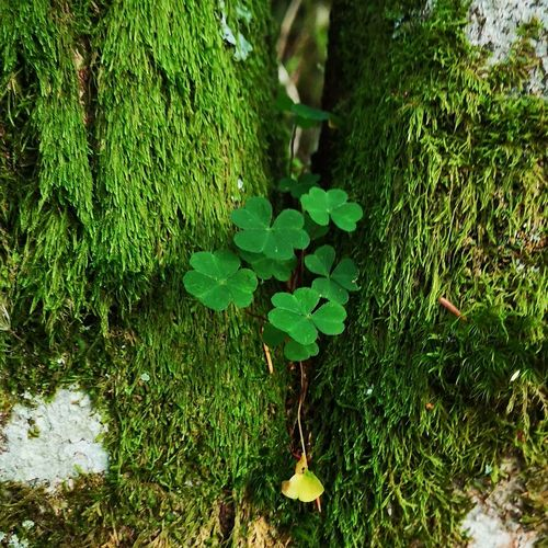 Clover 🍀 growing on a tree Clover Epiphyte Beauty In Nature Hello World Beauty Beautiful No People Nature Perfection Love Romantic Holidays Vacations Urlaub Schwarzwald Sankt Blasien Hochschwarzwald Germany Forest EyeEm Best Shots Leaf High Angle View Close-up Plant Green Color Growing Leaves Green Countryside Greenery
