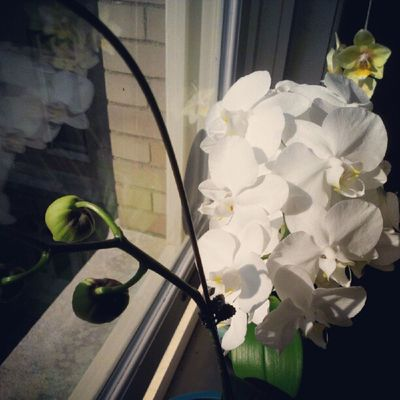 I love my plants Orchids Phals White Yellow Pretty Sunlight Afternoon