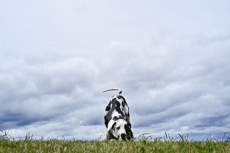 Great dane on grassy field against cloudy sky