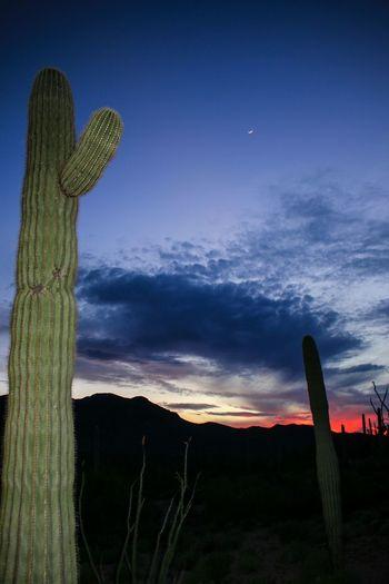 The saguaros and I waving hi to the moon. Moon Colorful Nature Pastel Sky Sunset Saguaro Wave Hello Woodin Ranch Photography Carnegiea Gigantea