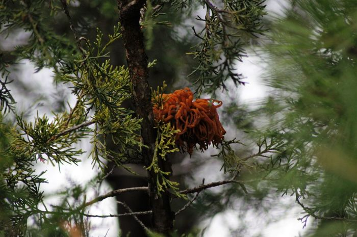 Not sure what this is. I assumed its a cocoon of some sort. The cedar trees started dieing not long after these showed up. Beauty In Nature Branch Cedar Tree Cocoon Day Focus On Foreground Growth Nature No People Outdoors Pest Plant Scenics Sky Tree