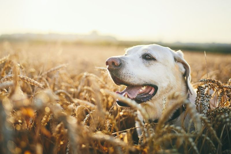 Labrador retriever on agricultural field