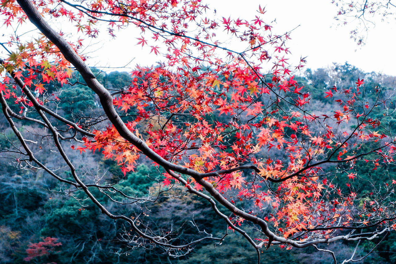 LOW ANGLE VIEW OF RED FLOWERING TREE AGAINST SKY