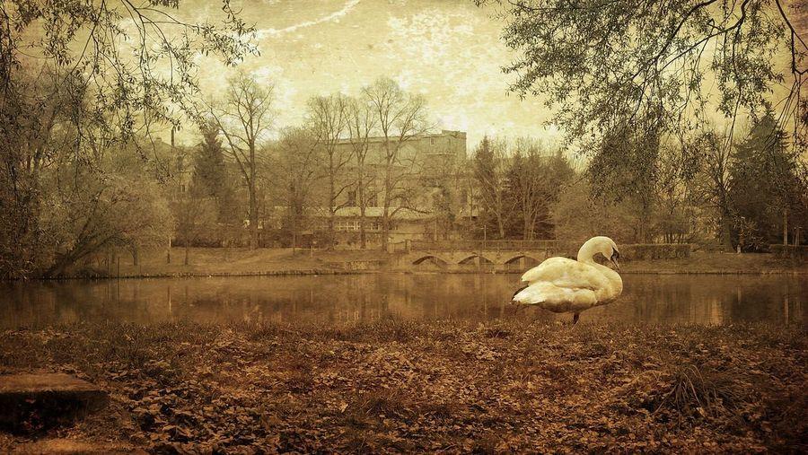 Swan Trees