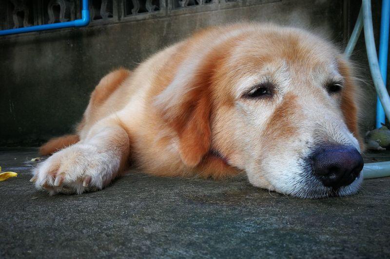 Close-up of golden retriever resting