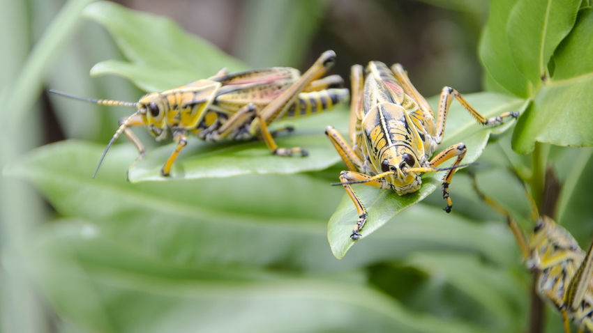 Grasshoppers Up Close Grasshoppers On Leaf Yellow Grasshopper Big Yellow Grasshopper Eating Leaf Insect Perching Close-up Animal Themes Plant Animal Leg Animal Antenna Grasshopper