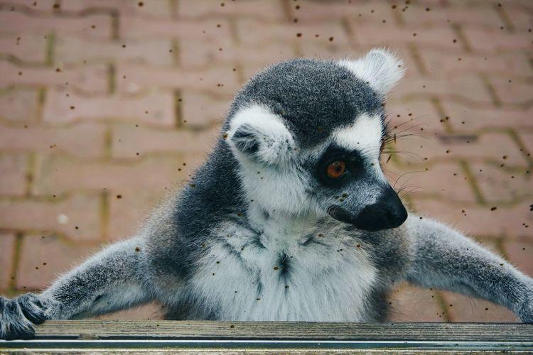 All Hail King Julien!!! 😍😍😍 Madagascar  Sony A6000 Lemur King Julien Natural Light Portrait