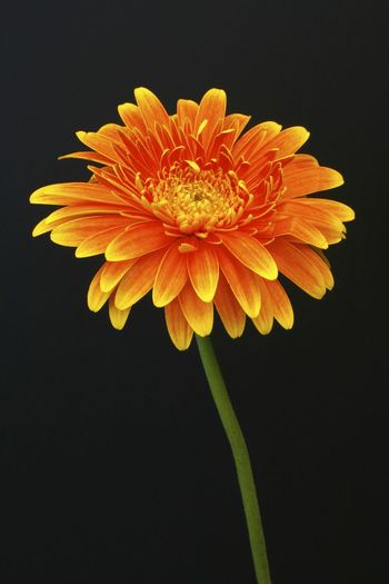 A studio shot of a beautiful flower portrait set against a black background Beauty In Nature Black Background Blooming Close-up Day Flora Floral Photography Flower Flower Head Fragility Freshness Growth Nature No People Orange Color Outdoors Petal Plant Pollen Stamen Studio Shot Yellow