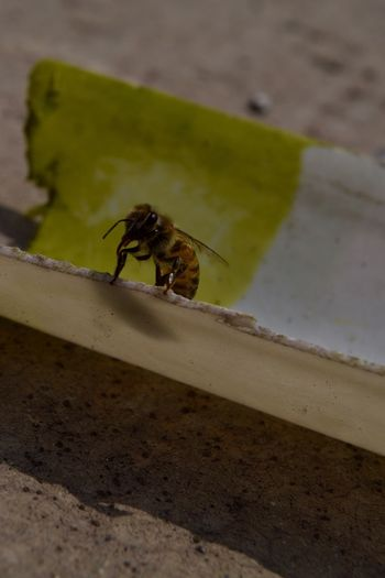 Bee Trhees Insect Insect Photography