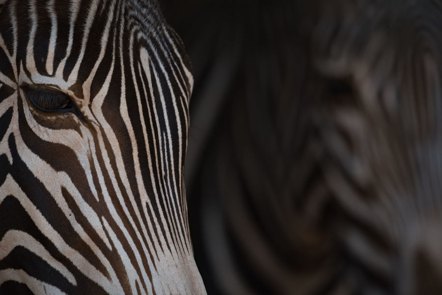 Animal Animal Themes Animal Wildlife Animals In The Wild Close-up Day Equus Grevyi Grevy's Zebra Imperial Zebra Mammal Nature Nature No People One Animal Outdoors Portrait Safari Animals Striped Wildlife Zebra Zebra