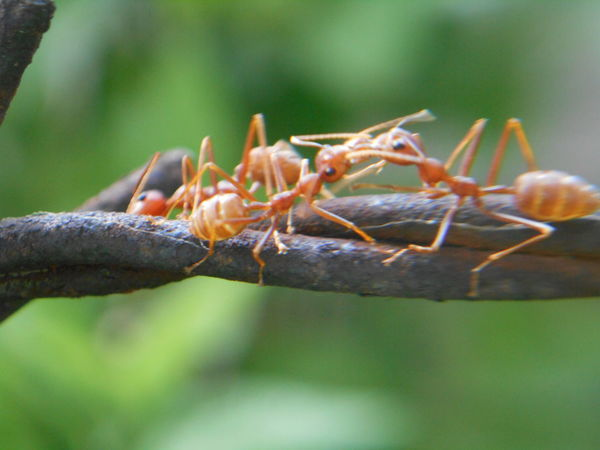 Animal Themes Animal Wildlife Animals In The Wild Ant Photography Ants Close-up Focus On Foreground Insect No People Outdoors
