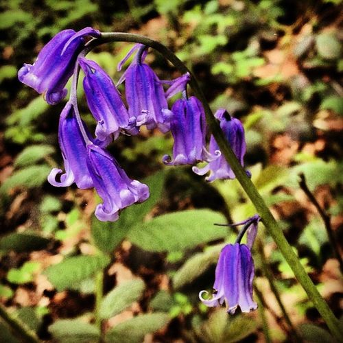 Photo365 Photooftheday Blue Bluebell Flower Forest Nature Woods Green Canon K8marieuk Igers IGDaily Instagrammers Leaves Kirkbyinashfield Dumbles Thedumbles Nottinghamshire