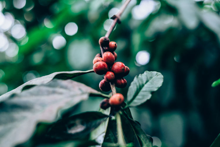 organically grown coffee plant Agriculture Antioxidant Backgrounds Beauty In Nature Bokeh Caffeine Close-up Coffee Day Food Food And Drink Freshness Fruit Green Color Growth Healthy Eating Leaf Nature Organic Outdoors Plant Red Selective Focus Tree Water My Best Photo