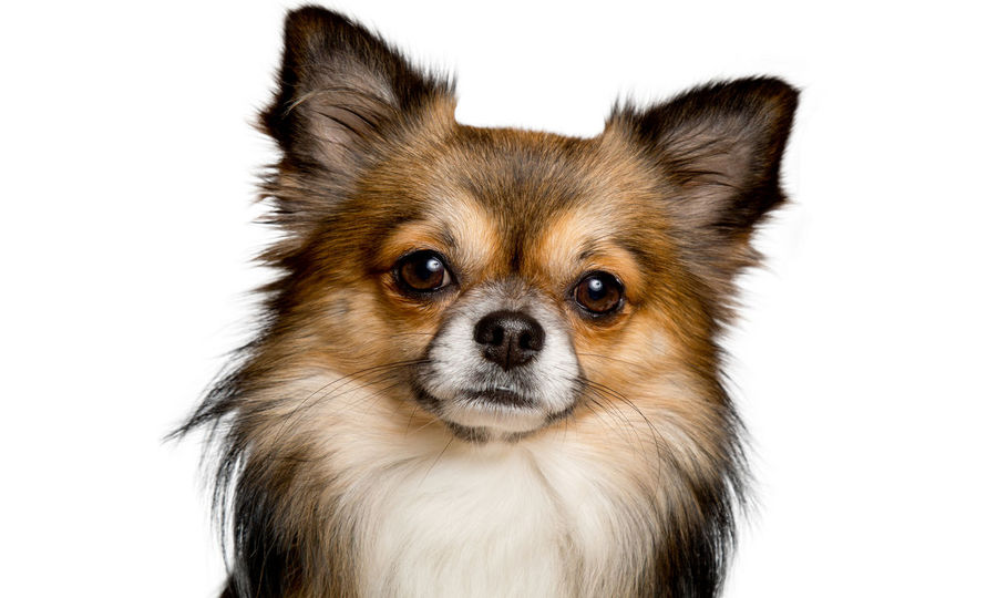 Animal Animal Body Part Animal Head  Animal Themes Canine Chihuahua - Dog Cute Dog Domestic Domestic Animals Indoors  Lap Dog Looking At Camera Mammal No People One Animal Pets Portrait Purebred Dog Small Studio Shot White Background