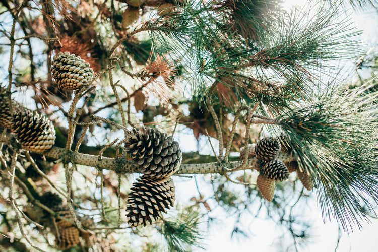 Close-Up Of Pine Cones Growing Outdoors