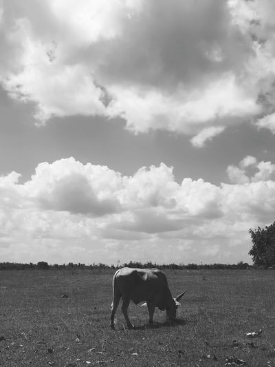Cow, field, sky