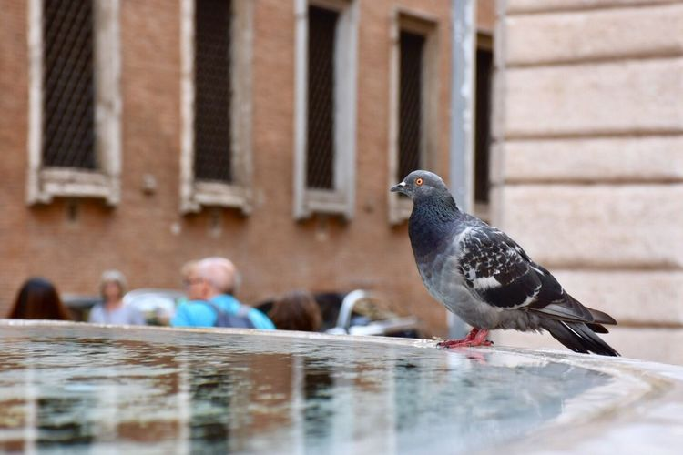 Pigeons perching in a water