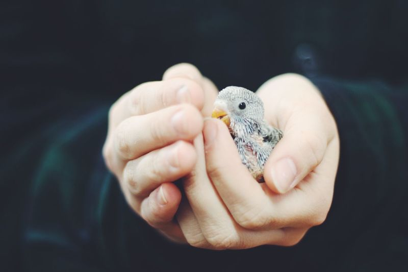 Baby bird being held in hands. Human Hand Animal Themes Holding Focus On Foreground Close-up Bird Photography Fresh On Market 2017