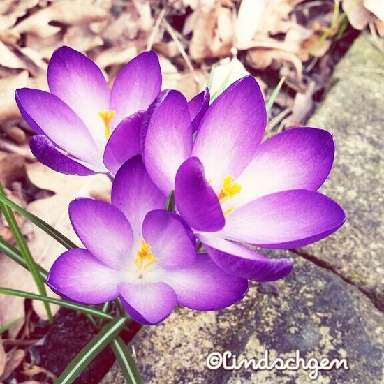 Frühlingsblüher. Frühlingsbote. Krokus. Frühlingsanfang EyeEm Nature Lover Glücklich ☺️ Gartenglück Frühling 2016 🌾 Beautiful Nature Springtime Frühling EyeEm Best Shots EyeEm Best Shots - Nature Enjoying Life Colorful Nature Krokus Krokusblüte Frühlingsblümchen Frühlingsbote