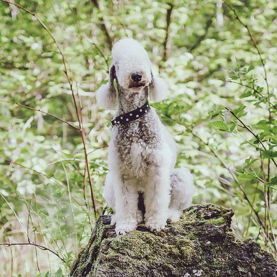 Bedlingtonterrier Bedlington Terrier Dog