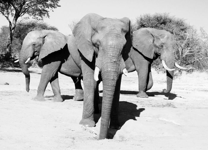 Elephants portait African Elephants Nature Black And White Animal Portrait Safari Animals Wild Animal African Safari African Animals Travelling Travel Experience African Beauty Africa African Wildlife Landscape Elephants Botswana EyeEm Selects Animal Themes Animal Elephant Mammal Animal Wildlife Safari Animals In The Wild Group Of Animals