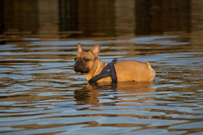 Französische Bulldogge  Hundefotografie Hunde Tierfotografie Dogs Of EyeEm Hundeportrait EyEmselect Düsseldorf Butsosexy Dogs Dogs Life #hundefoto EyeEm Selects Water Swimming Eye River Beauty Close-up