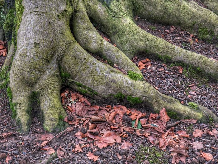 Tree Roots and Fallen Leaves Tree Roots Growing Out Of The Ground Tree Roots  Brown Leaves Landscape Close -up No People Outdoors Nature Day Green Color Growth Beauty In Nature Tree Close-up Tree Trunk Forest