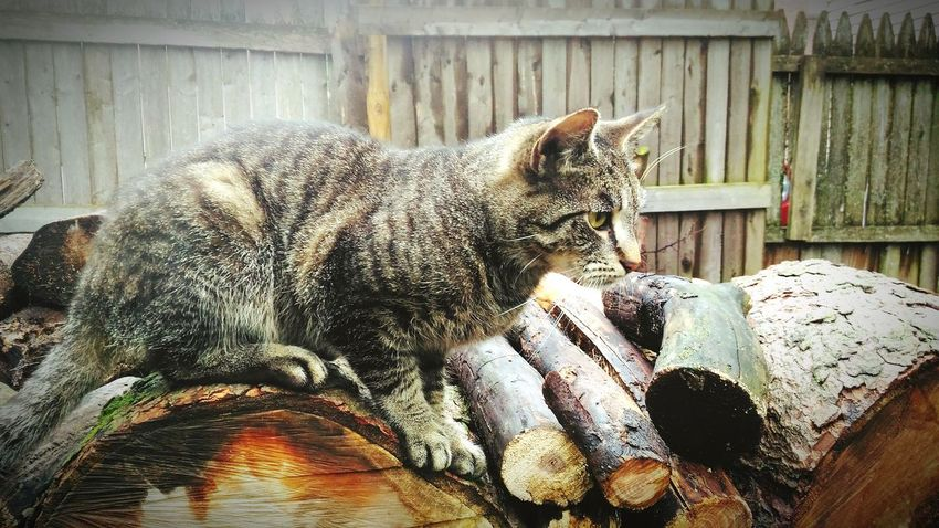 My cat River Animal Themes One Animal Mammal No People Domestic Animals Pets Day Outdoors Feline Domestic Cat Close-up Nature Kitty Kitty Cat Animal Photography Animal_collection Cat Outdoors Tiger Cat Pet Photography  Woodpile Pet Photography  Cat Photography Nature Wood - Material Pets Corner