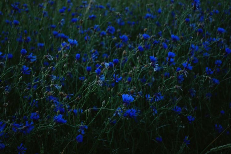 Cornflower Flower Rural Scene Agriculture Crocus Blue Field Flower Head Crop  Close-up Grass Poppy Ear Of Wheat Cereal Plant Corn - Crop Rye - Grain Sweetcorn Combine Harvester Corn On The Cob Oat - Crop Blooming Rice Paddy Wildflower Cultivated Land Lavender Rice - Cereal Plant Wheat Barley In Bloom