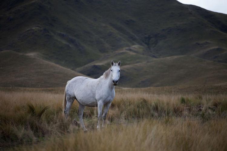 Argentina Horse