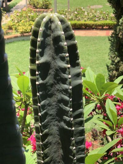 Cactus in my