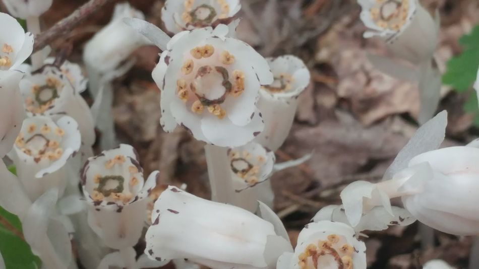 EyeEm Selects No Filter Mushroom Mushrooms No People Close-up Nature Unhealthy Eating Day Outdoors Closing Fragility Beauty In Nature indian pipe