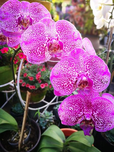 Orchids Flower Pink Color Nature Beauty In Nature