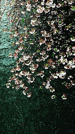 Showcase April Beautiful ♥ 🌸Petals Of Spices🌸 😍😌😊❄💕💕💕💕💕💕💕 Tokyo Days Walking Alone... Photographic Memory Photography In Motion Cherryburassamu🌸🌸🌸 ℓσνє♡ Beatiful View Japan 2016cherryburassamu🌸🌸🌸