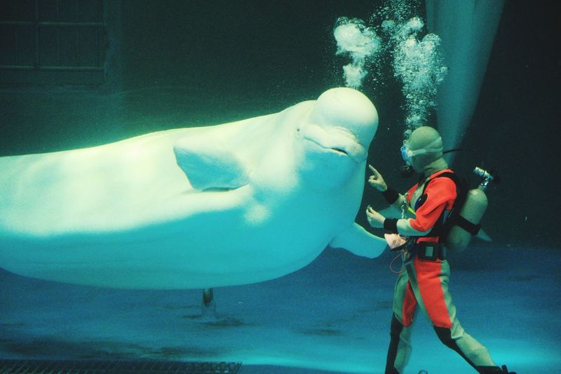 Japan Chiba Kamogawa Aquarium Beluga