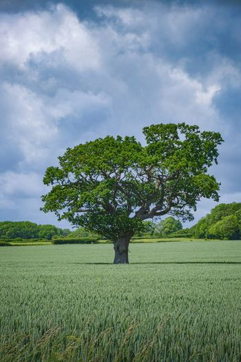 Wheat Plant Tree Sky Cloud - Sky Field Environment Landscape Green Color Grass Land Growth Nature Tranquility Tranquil Scene Beauty In Nature No People Scenics - Nature Day Agriculture Outdoors