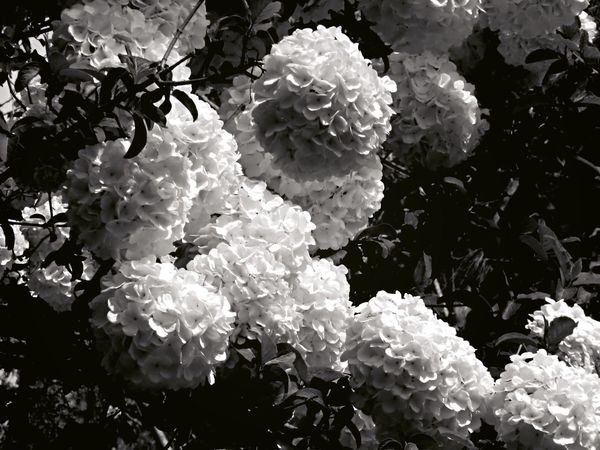 Floral, Blk and White, and Snowball Bush Taking Photos