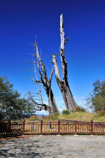 Tall Shenmu, in the forest Couple Tree Magnificent Shenmu Taiwan Tree YuShan Yushan National Park Architecture Bare Tree Blue Branch Built Structure Clear Sky Day Dead Wood Forest Huge Landscape Nature No People Outdoors Peaceful Sky Tree Wood - Material