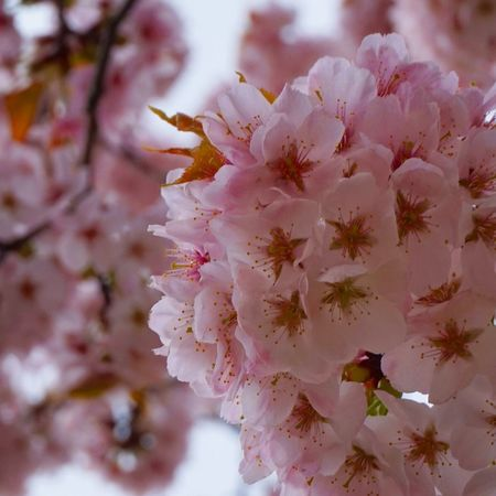 """""""Let it rain on some days, Let yourself shiver on some cold nights, So when it's Spring you'll know why it was all worth going through."""" April 2018 Spring 2018 Spring Springtime Korea South Korea Incheon Incheon Grand Park Flower Springtime Pink Color Petal Blossom Close-up Cherry Blossom"""
