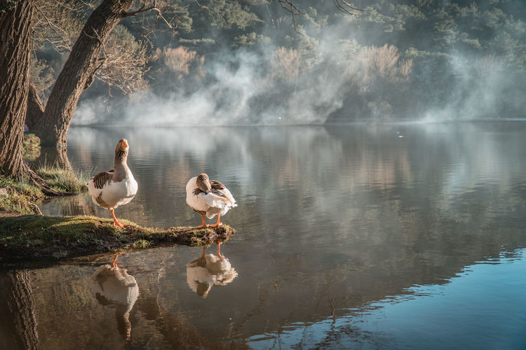 Geese at lakeshore during foggy weather