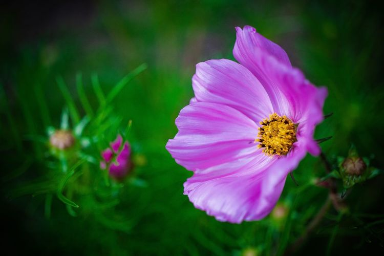 evening beauty Beauty In Nature Close-up Cosmos Flower Day Flower Flower Head Flowering Plant Focus On Foreground Fragility Freshness Growth Inflorescence Nature No People Outdoors Petal Pink Color Plant Pollen Purple Vulnerability