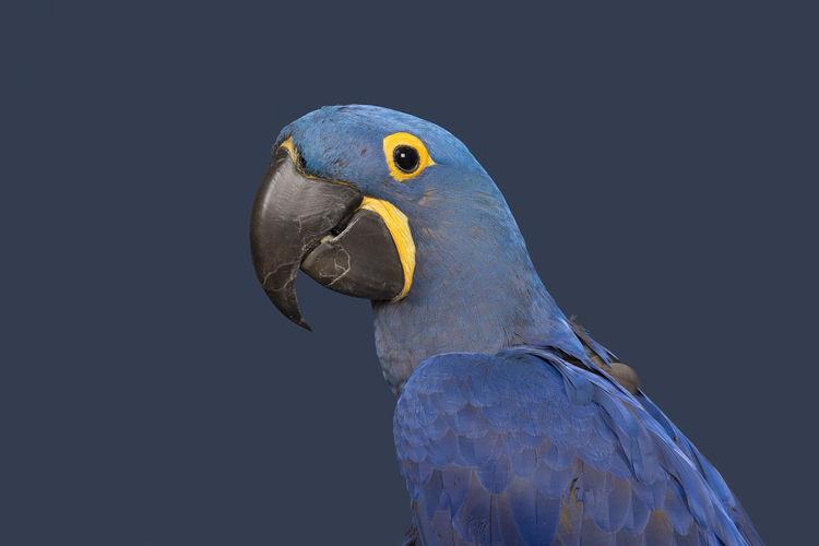 Hyacinth ara portrait on a blue background Animal Themes Ara Bird Blue Hyacinth Hyacinth Macaw Macaw Macaw Parrot One Animal Parrot Studio Shot