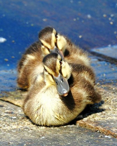 Young Bird Young Animal Animals In The Wild Bird Animal Wildlife Animal Themes No People Day Water Sunlight Outdoors Nature Close-up Ducks😄 Duckling Duck Duck Baby Symmetry Live For The Story EyeEmNewHere Synchronicity The Great Outdoors - 2017 EyeEm Awards Paint The Town Yellow