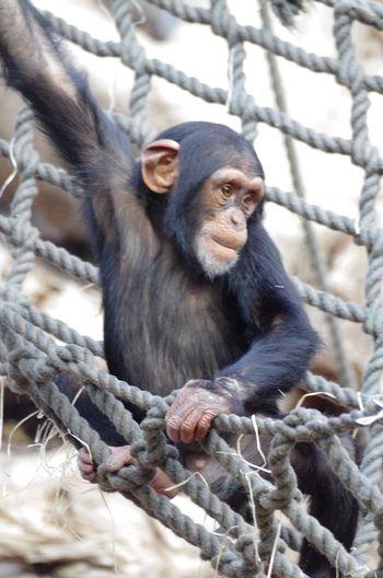 EyeEm Gallery I LIKE👍EyeEm😃👍 Animal Themes Animal Wildlife Animals In The Wild Branch Chimpanzee Close-up Day Full Length I Like This Shot Looking Mammal Monkey Nature No People One Animal Outdoors Primate Schimpanse Tree