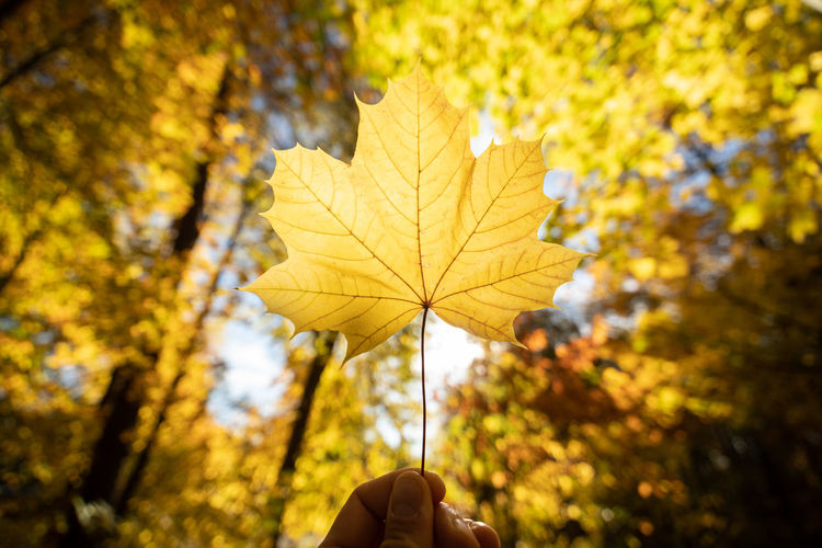 Autumn One Person Yellow Change Human Hand Human Body Part Hand Plant Focus On Foreground Plant Part Nature Leaf Real People Body Part Finger Tree Day Lifestyles Human Finger Maple Leaf Outdoors Autumn Collection Leaves Human Limb Natural Condition