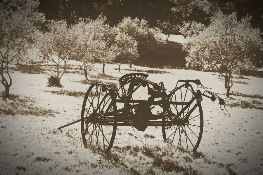 Tree Wheel Day Transportation Old-fashioned Growth Outdoors No People Wagon Wheel Shadow Horse Cart Nature Arbres Olives Plant Olivier Branch Olive Tree Olive Tracteur Agriculture Paysan Tractors Beauty In Nature Nature